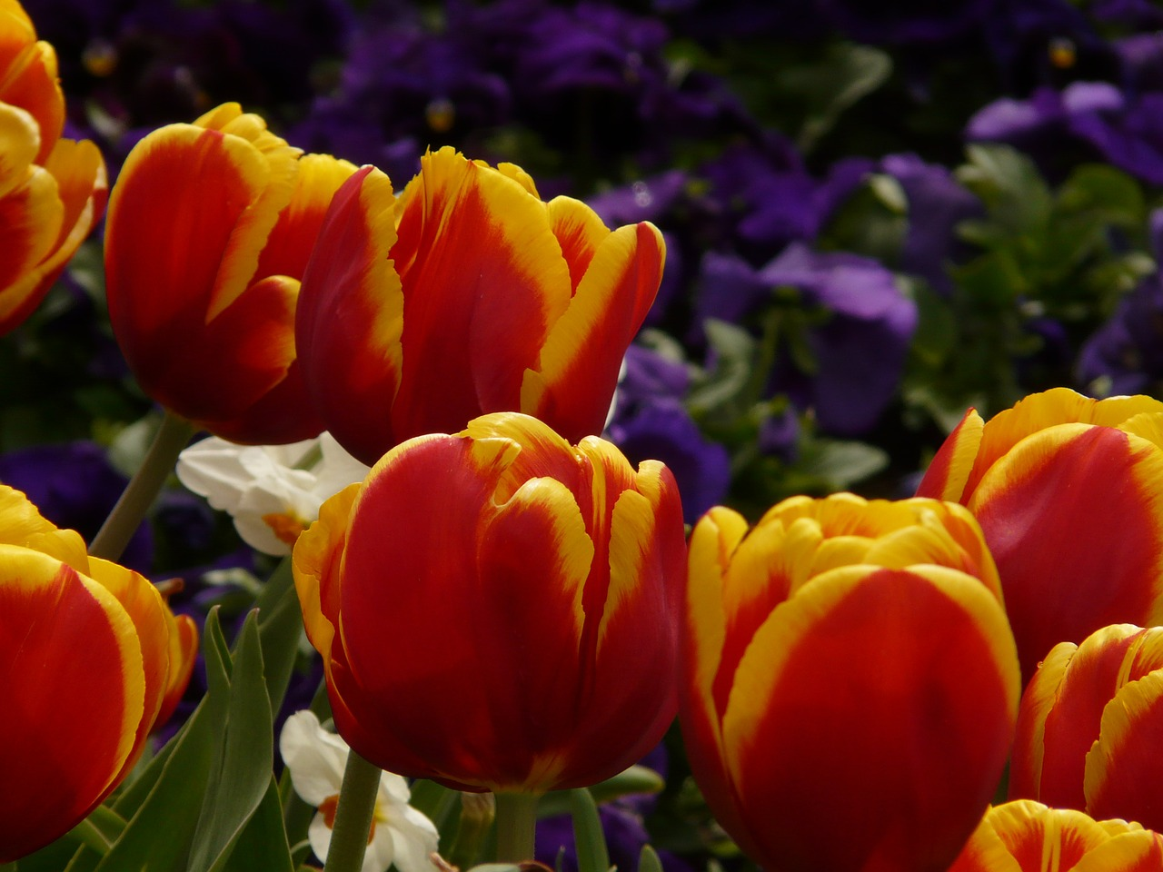 tulips red yellow free photo
