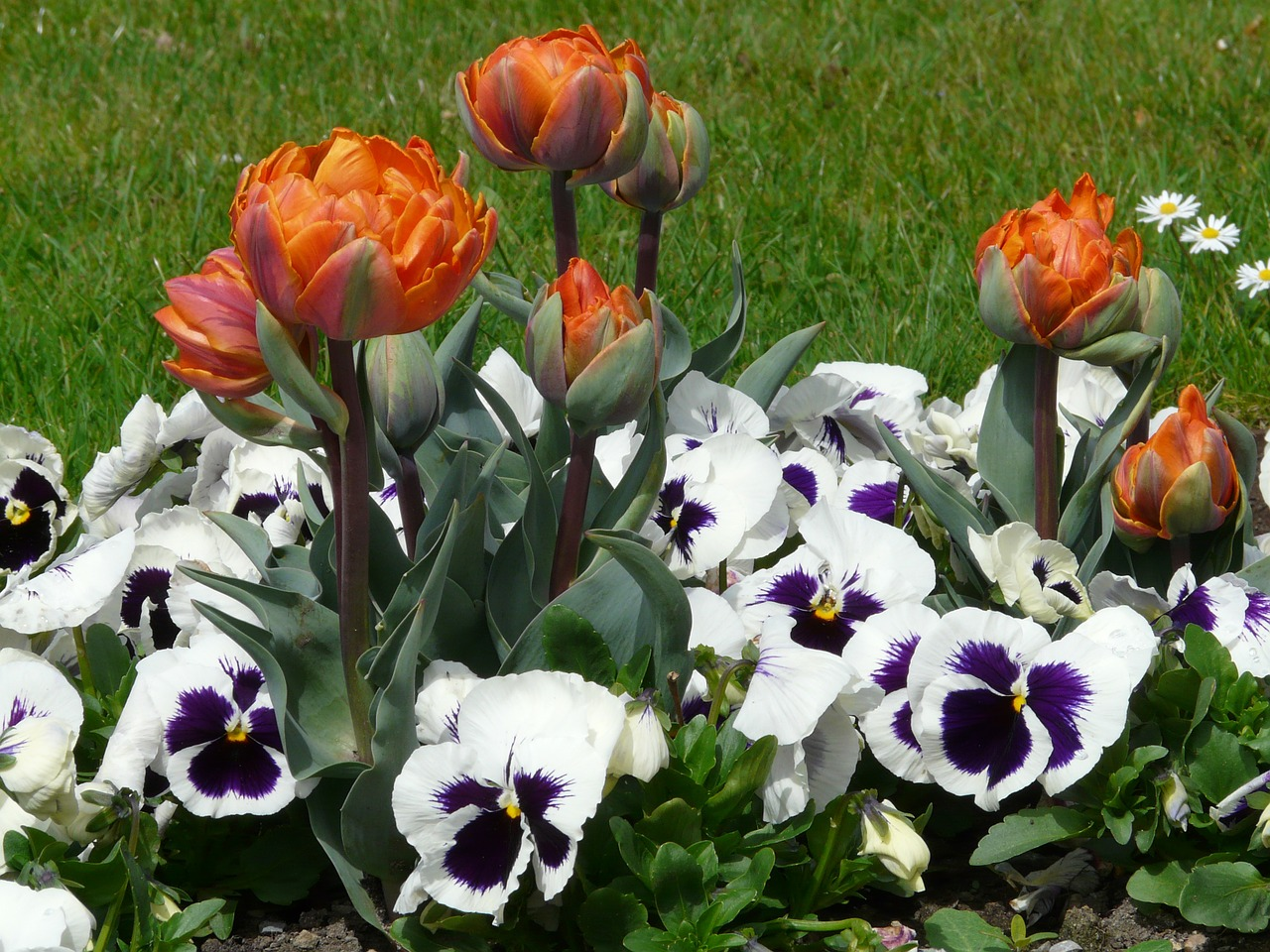 tulips flowers spring free photo