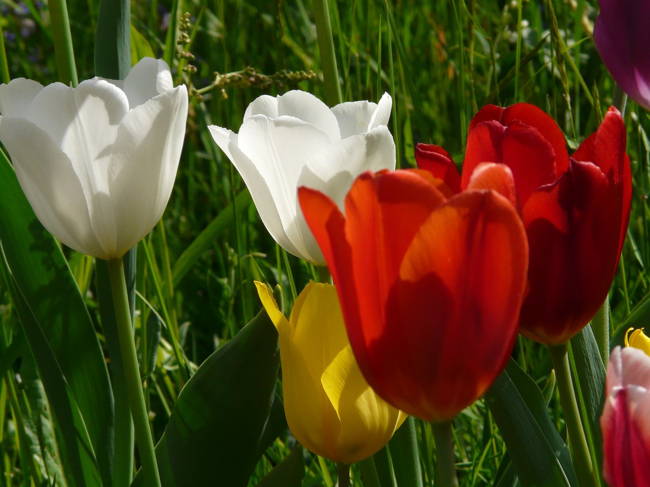 tulips colorful color free photo