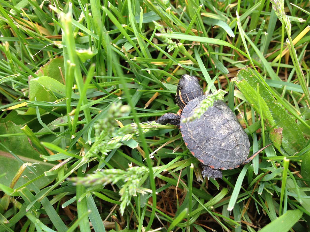 turtle,grass,baby,nature,wildlife,shell,green,life,cute,outdoor,wild,animal,free pictures, free photos, free images, royalty free, free illustrations, public domain
