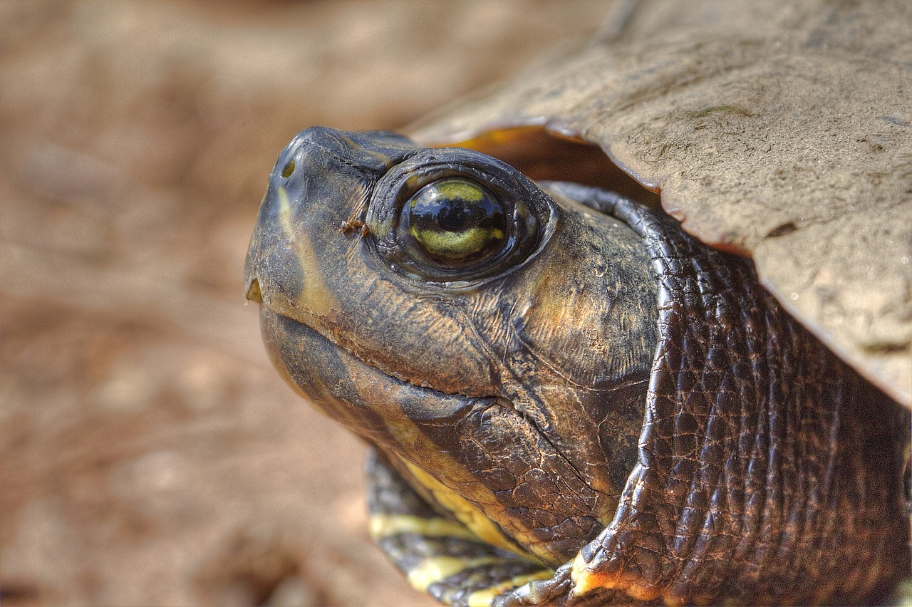 turtle close up wildlife free photo