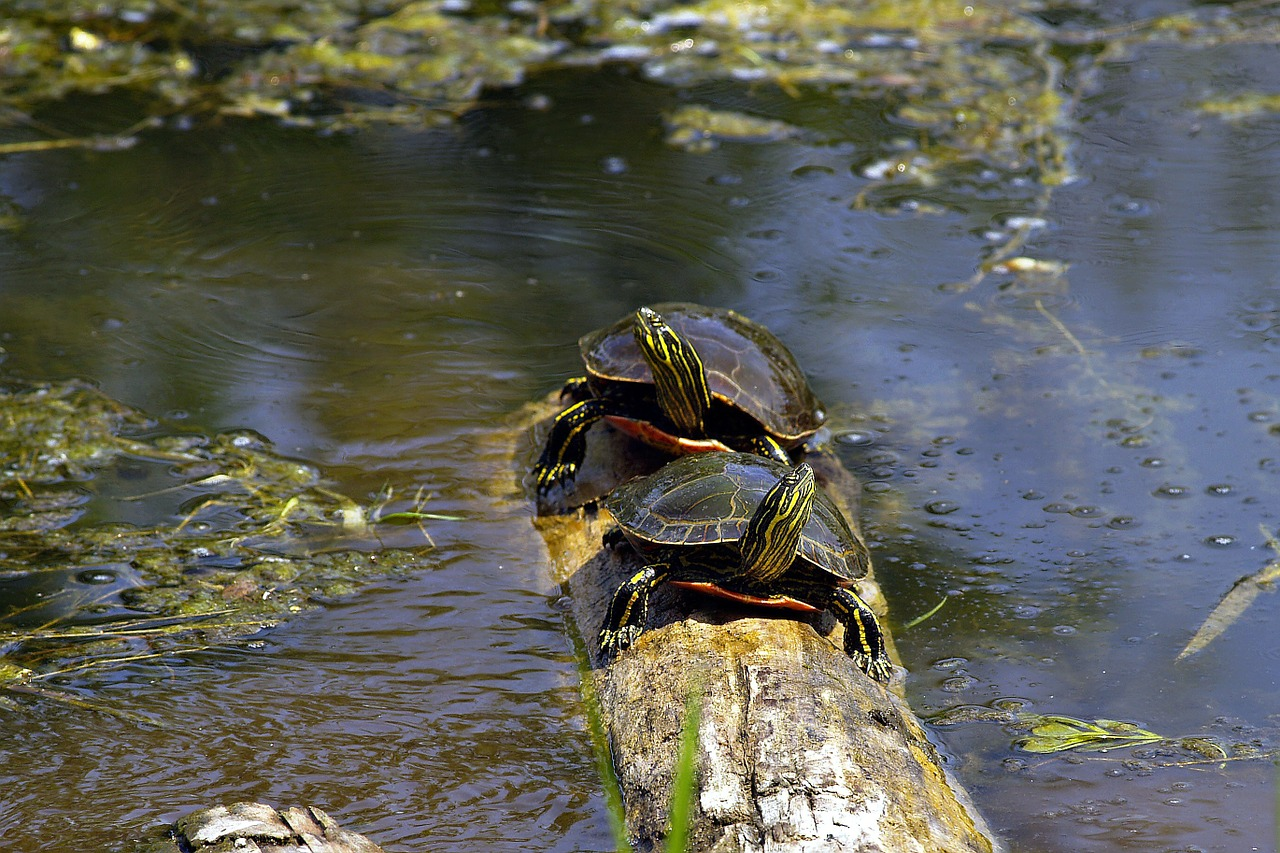 turtle couple sushwap lake free photo