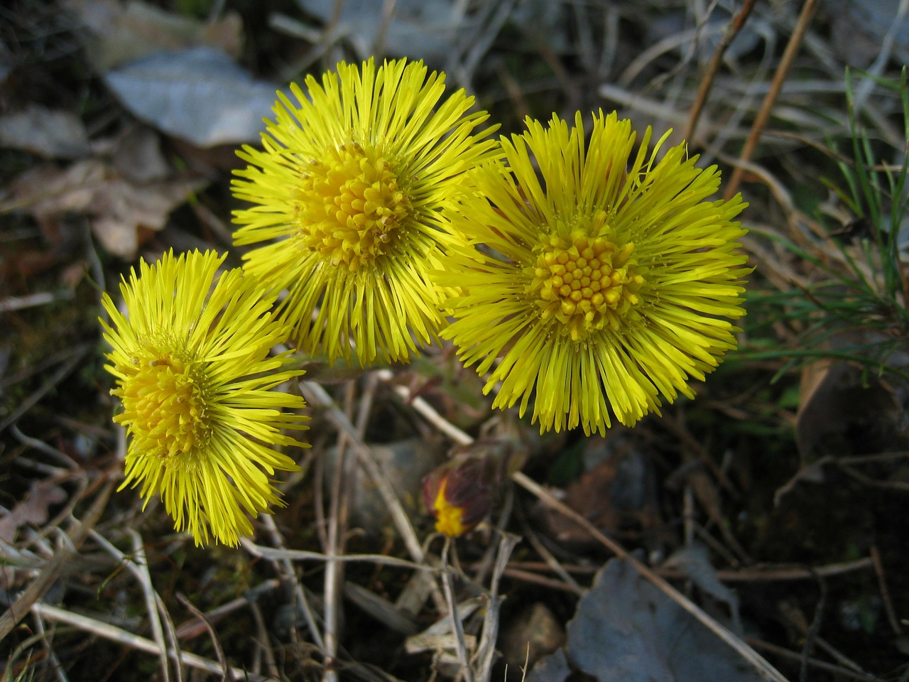 tussilago yellow flowers free photo