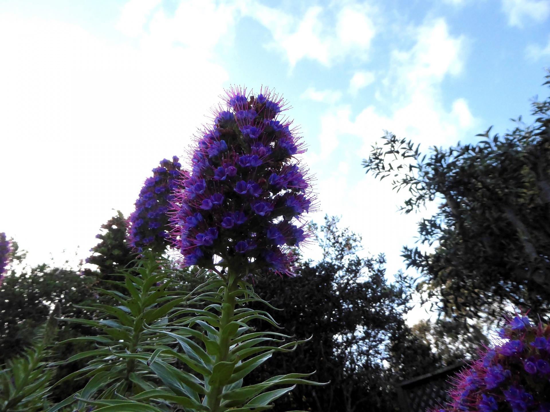 Purpleflowerperennialsshapedtriangular Free Photo From Needpix