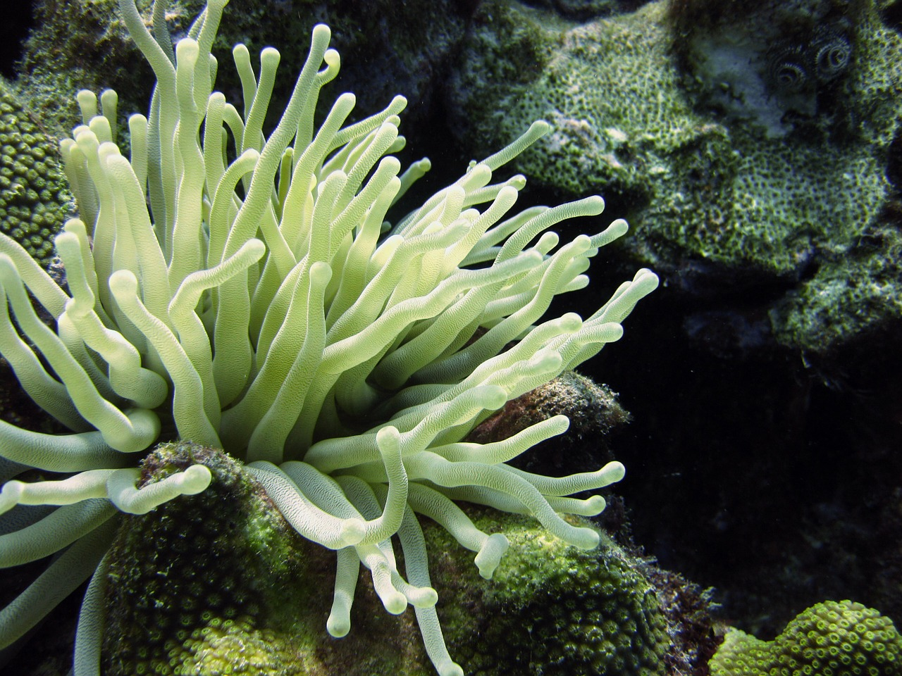 underwater anemone diving free photo