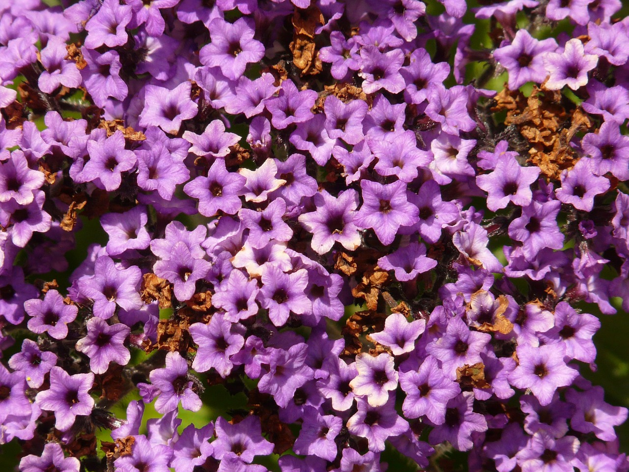 vanilla flower heliotrope solstice free photo