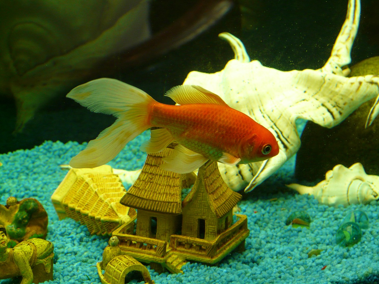 veiltail fish goldfish free picture