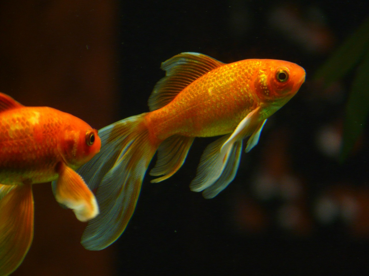 veiltail fish goldfish free photo