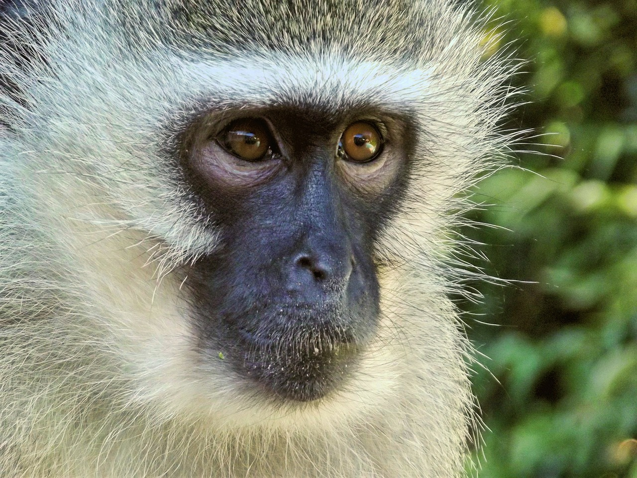 vervet monkey female free photo
