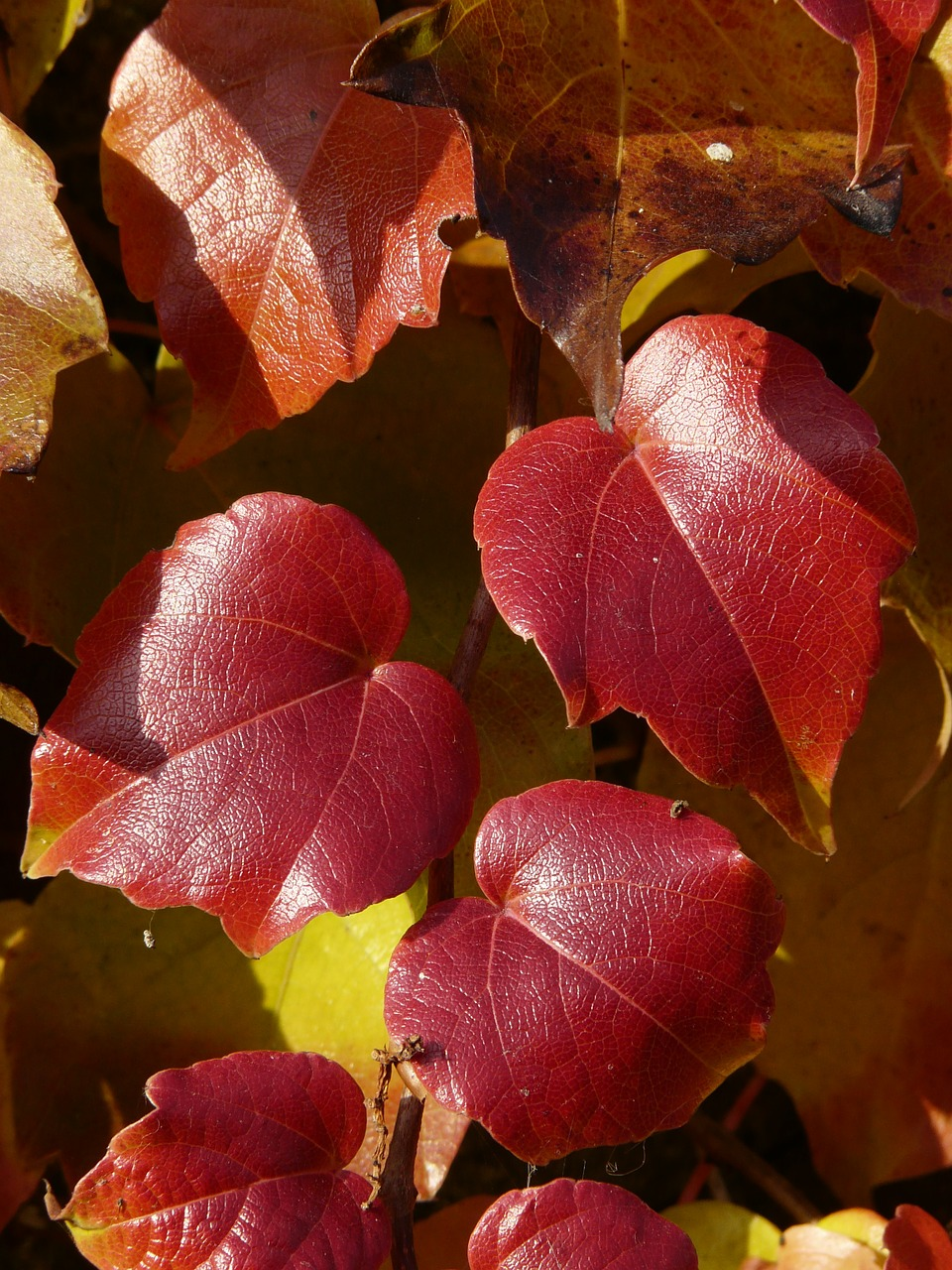 vine leaves wine partner coloring free photo