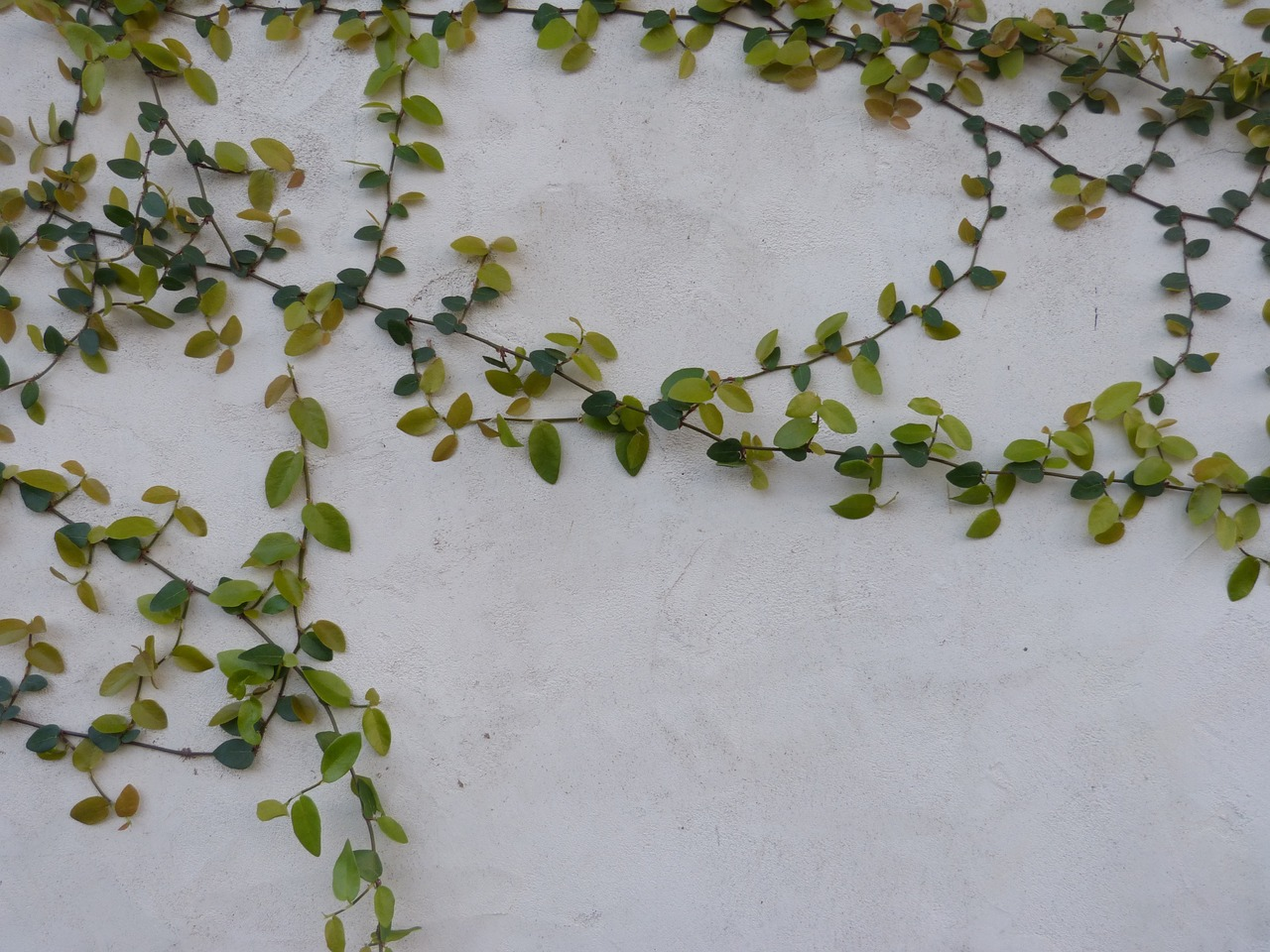 vines vines on wall nature background free photo