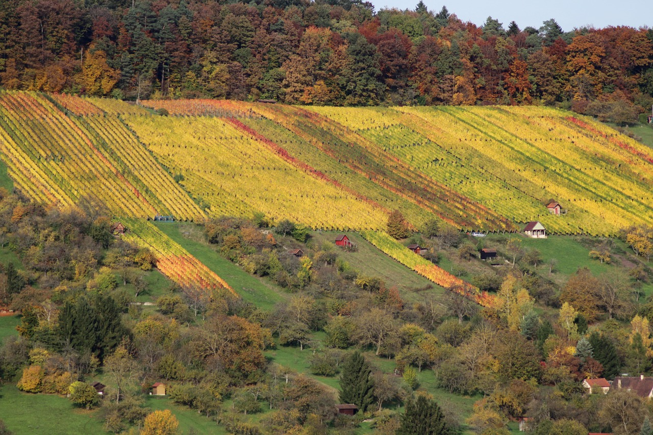 vineyard autumn nature free photo