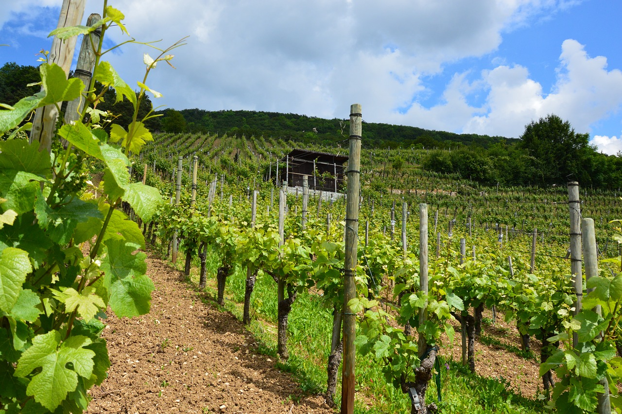 vineyard,vines,wine,vines stock,winegrowing,slope,rebstock,nature,vine,grapes,summer,green,aargau,free pictures, free photos, free images, royalty free, free illustrations, public domain