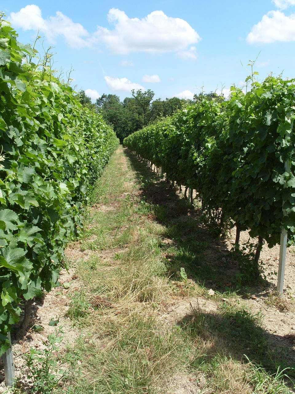 vineyard vines grapes free picture