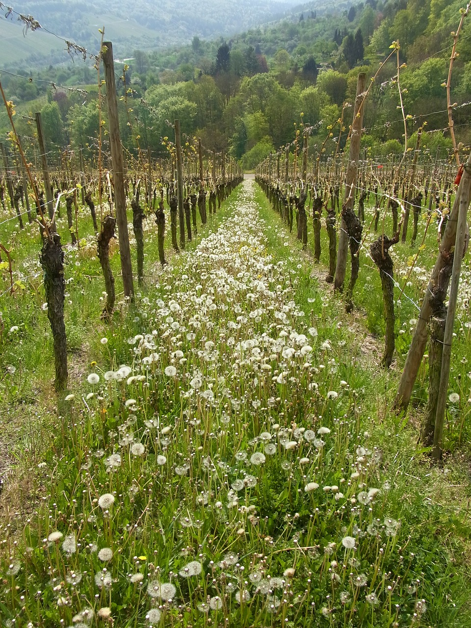 vineyard wine dandelion free photo