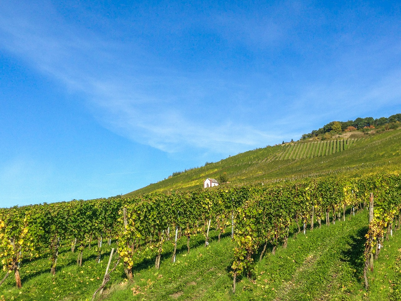 vineyard mosel wine free photo
