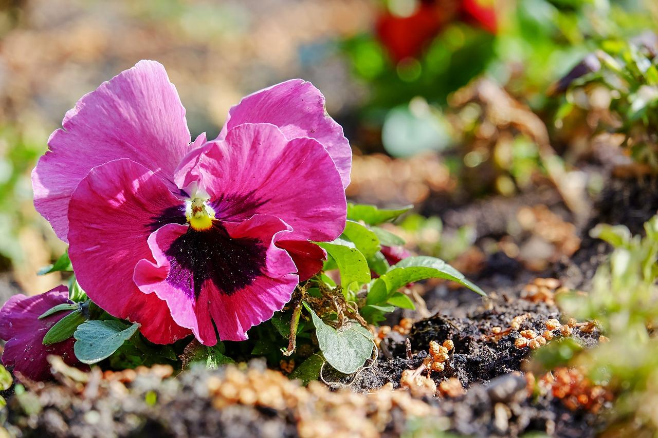 Violetpansyplantflower Plantsviolaceae Free Photo From Needpix