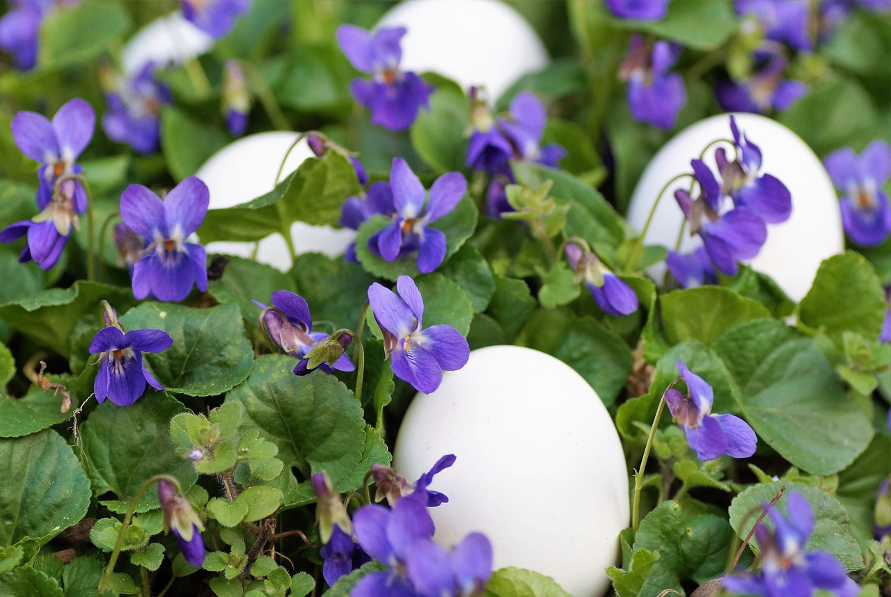 violets, eggs, white, easter, spring, vernal, holiday, the tradition of, habit, custom, merry, purple,free pictures, free photos, free images, royalty free, free illustrations, public domain
