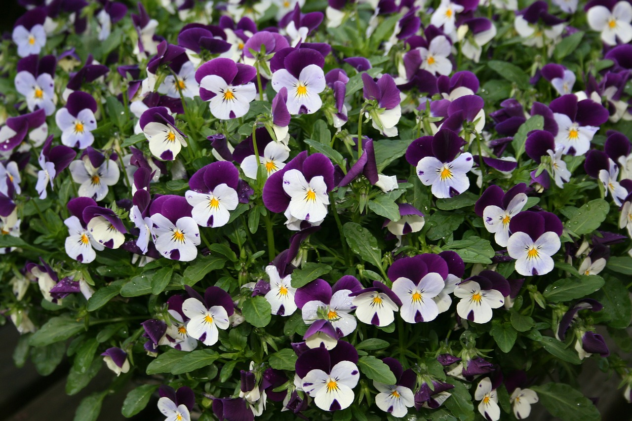 violets white purple free photo