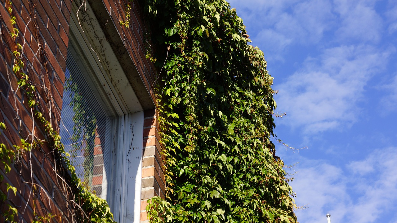 virginia creeper grow along the wall reflected in the window free photo