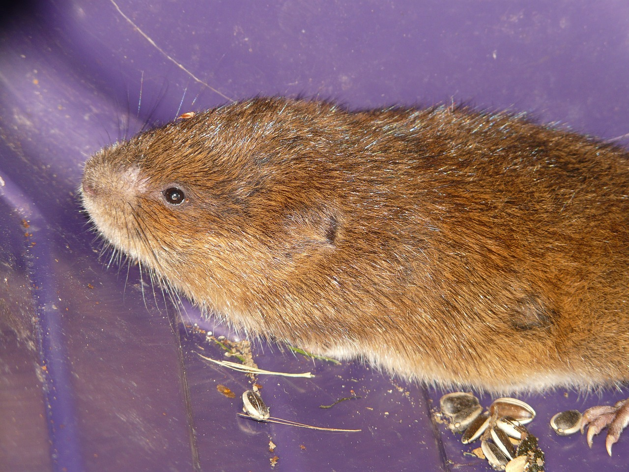 vole east water vole mouse free photo