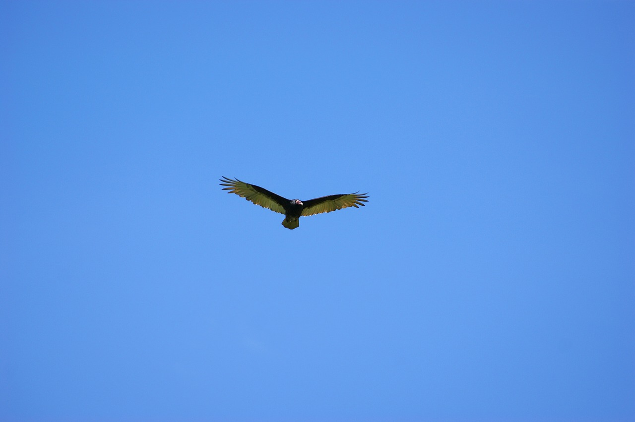vulture sky fly free photo