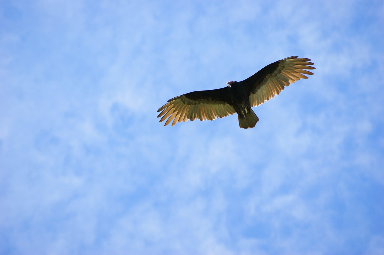 vulture sky clouds free photo