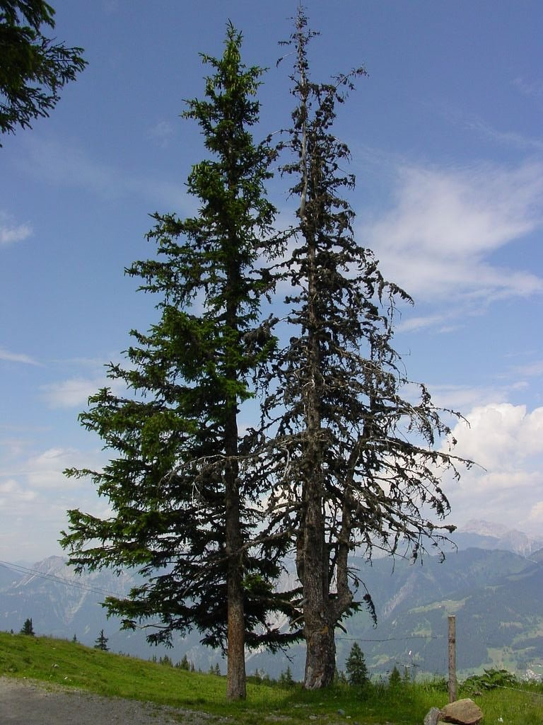 waldsterben conifer spruce free photo