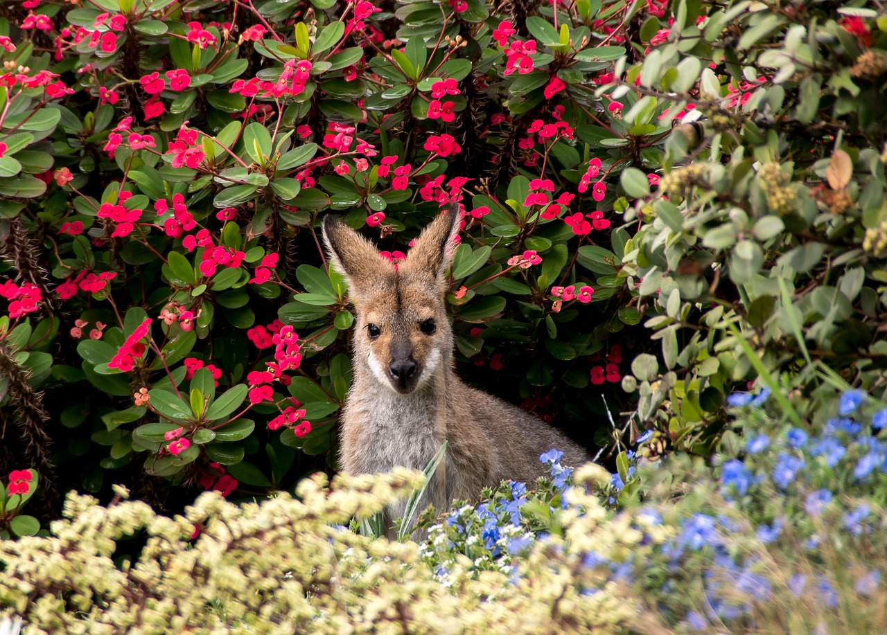 wallaby rednecked wallaby australia free photo