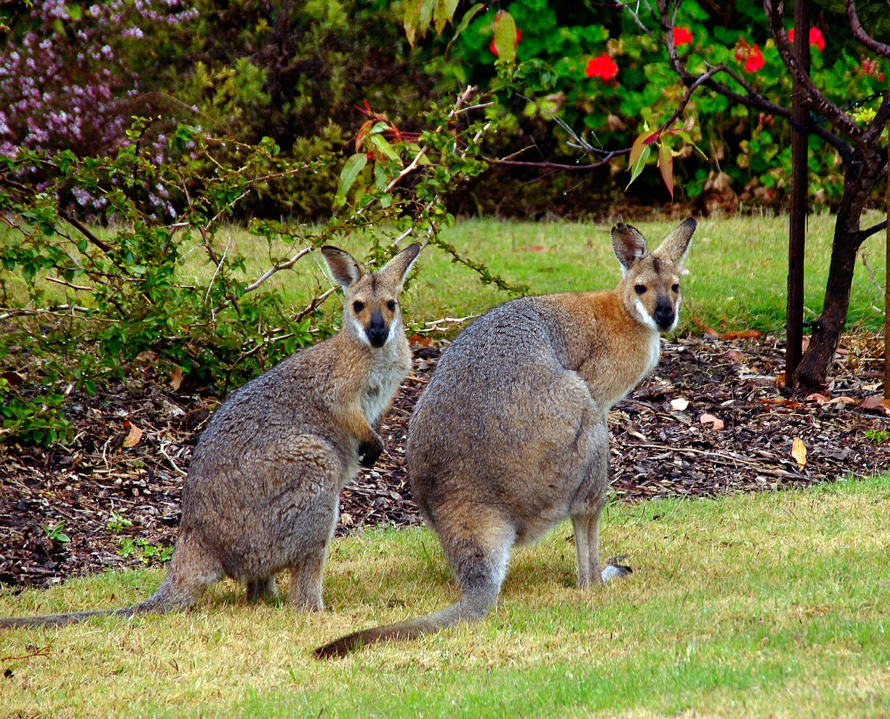 wallaby,marsupial,animal,australia,red-neck wallaby,queensland,garden,free pictures, free photos, free images, royalty free, free illustrations, public domain