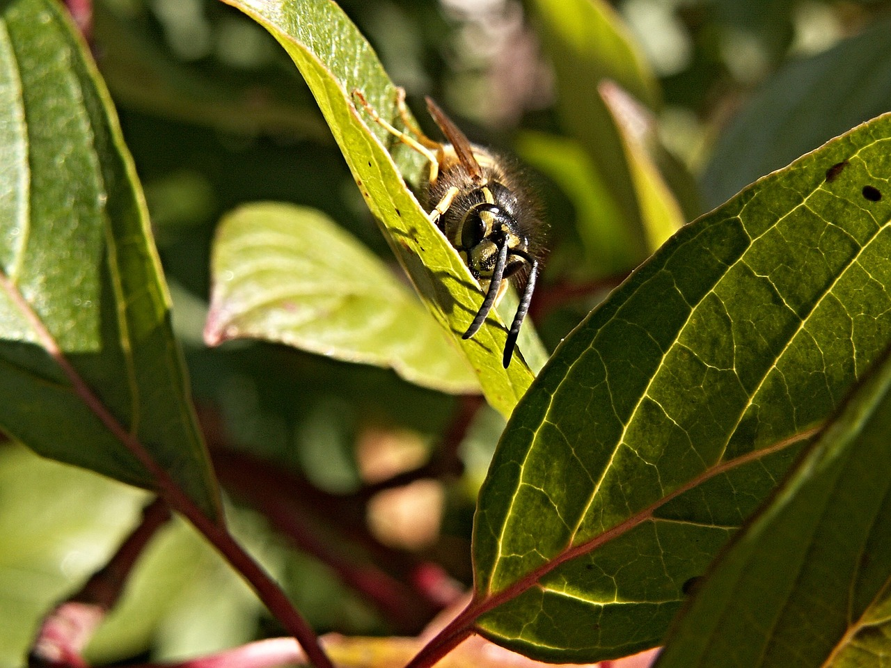 wasp insect foliage free photo