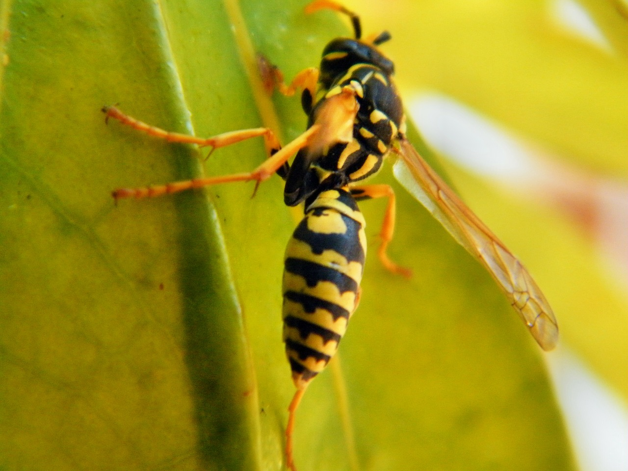 wasp animal insect free photo