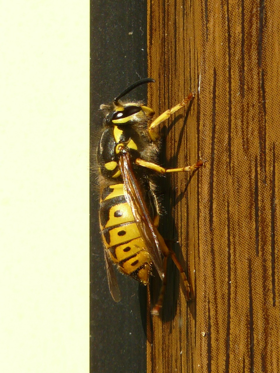 wasp insect animal free photo