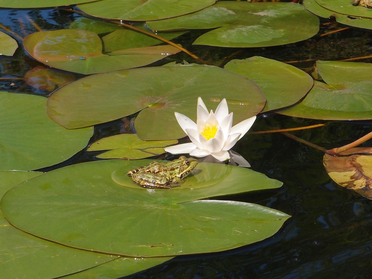 Waterriverwater Liliesfrogamphibian Free Photo From Needpix