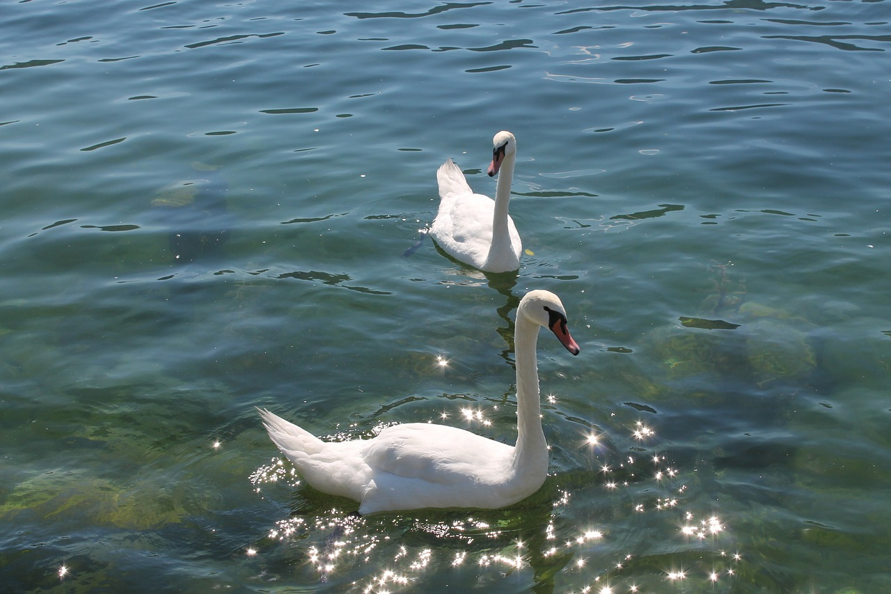 water,swan,lake,free pictures, free photos, free images, royalty free, free illustrations, public domain