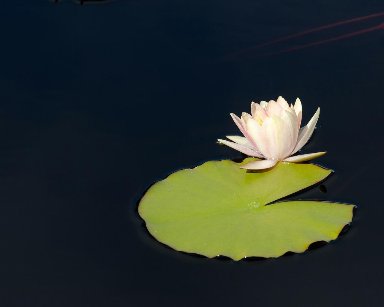 Waterlilyflowerlily padpond flower free photo from needpix waterlilyflowerlily padpond flowerpond plant izmirmasajfo