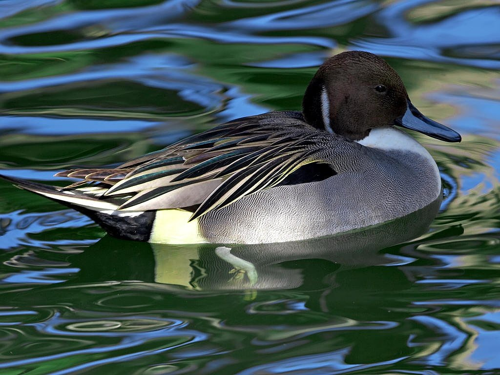water bird duck black free picture