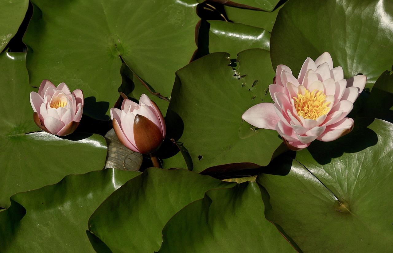 Water liliesflowerspondaquatic plantwater free photo from water lilies flowers pond izmirmasajfo
