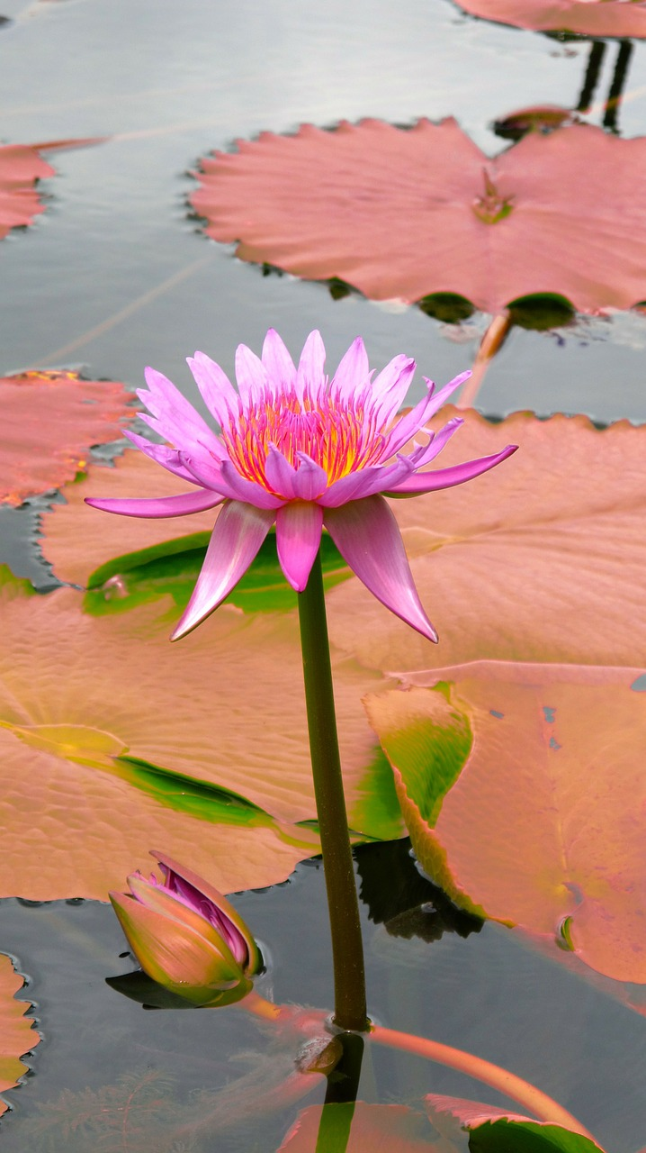 water lily pink lilies free photo