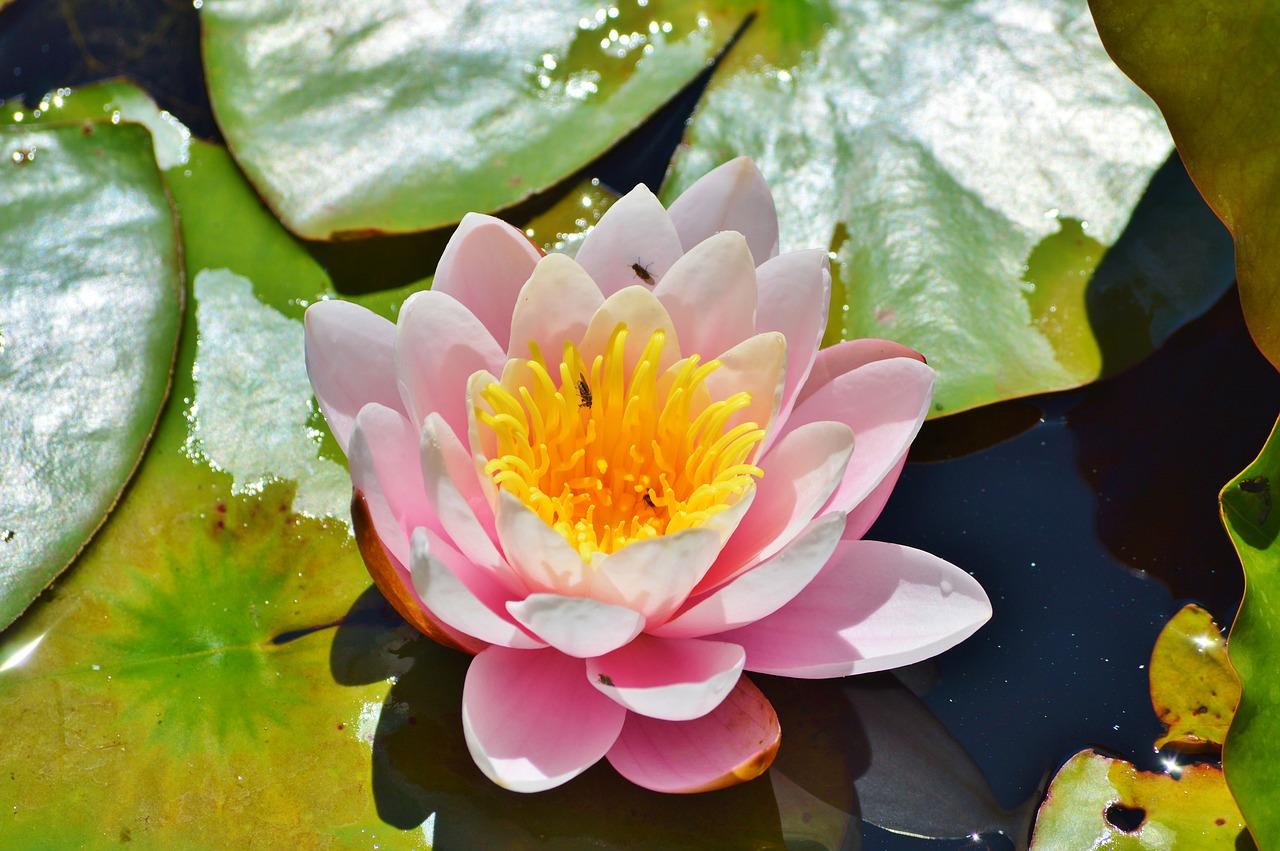 Water lilyroseflowerwater rosenuphar lutea free photo from water lily rose flower izmirmasajfo