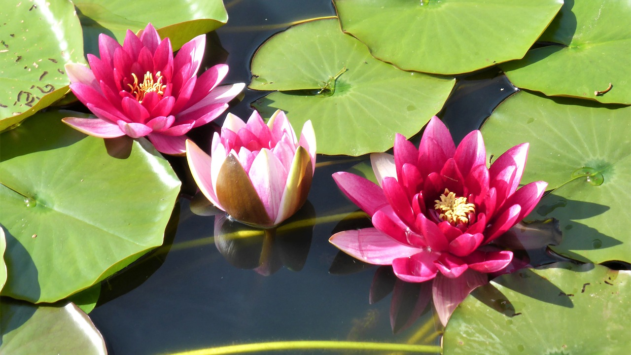 Water Lilypondpinkwater Plantwater Flower Free Photo From