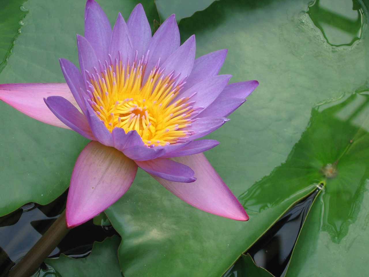 Water Lilylotuslotus Blossomflowerblossom Free Photo From