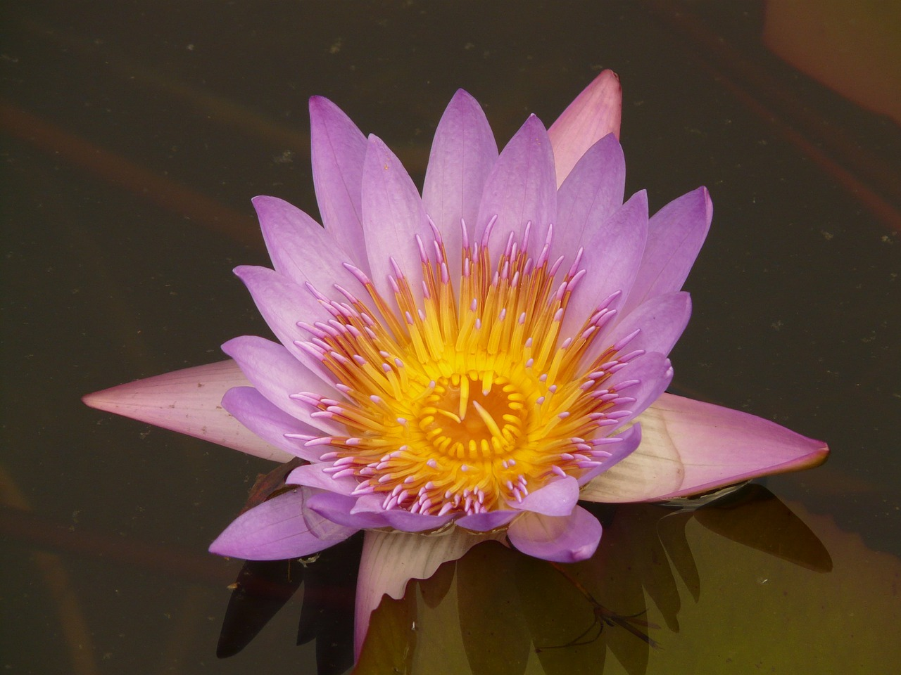 water lily blossom bloom free photo