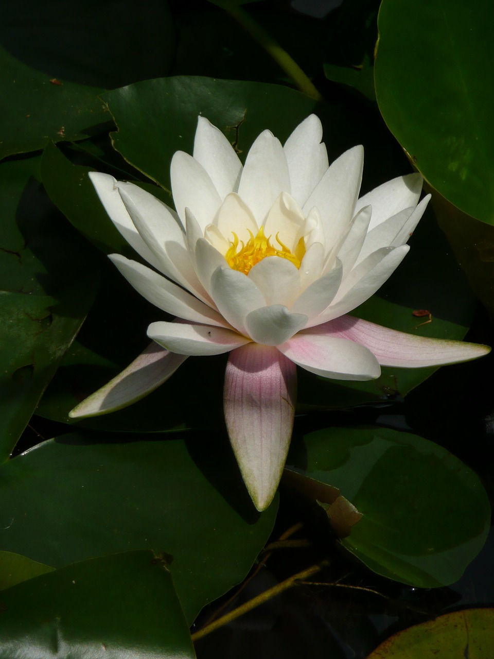 water lily nymphea garden free photo