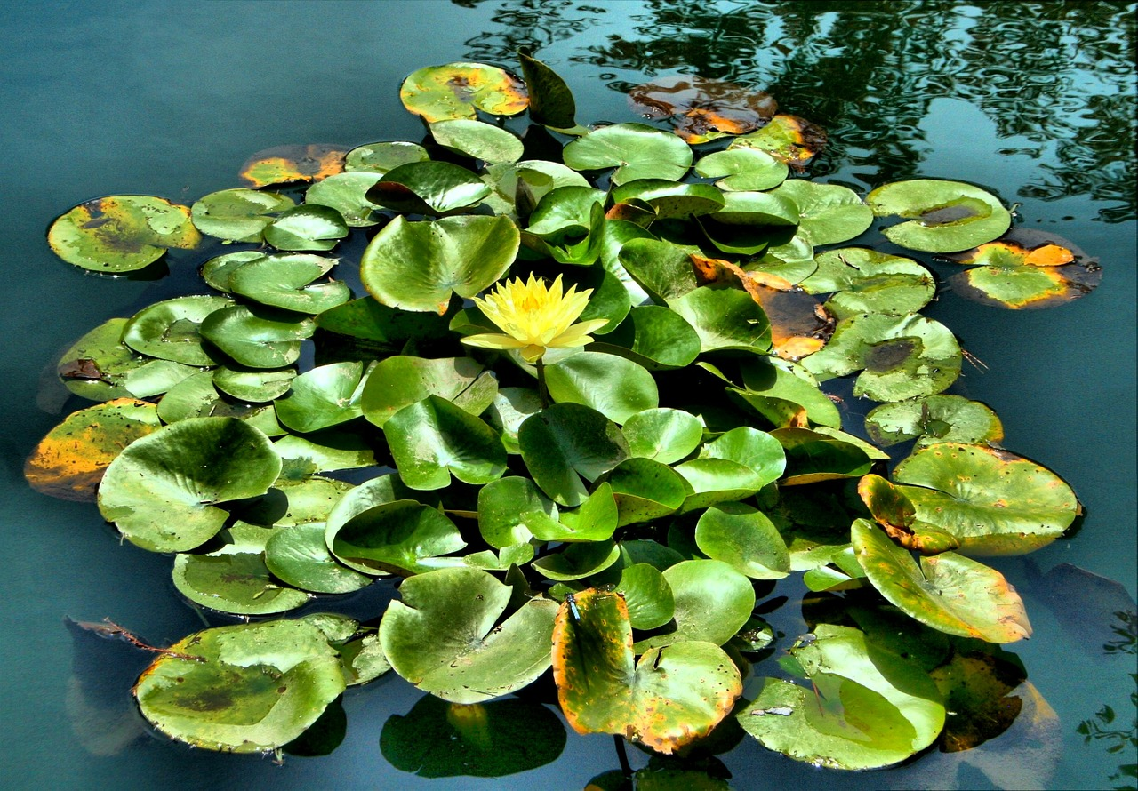 water lily pond floating free photo