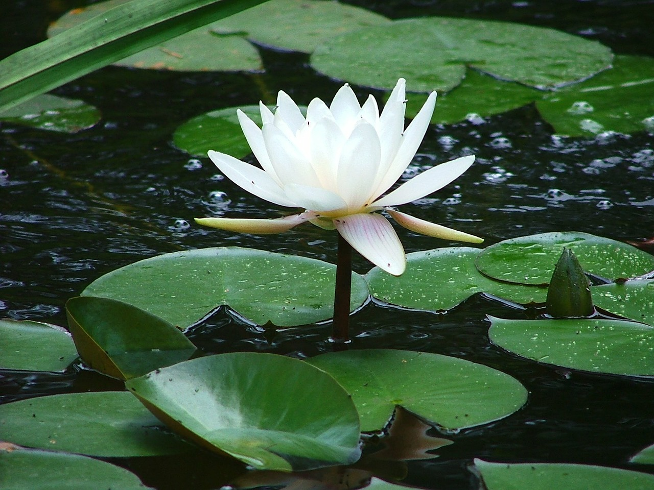water lily white sublime free photo