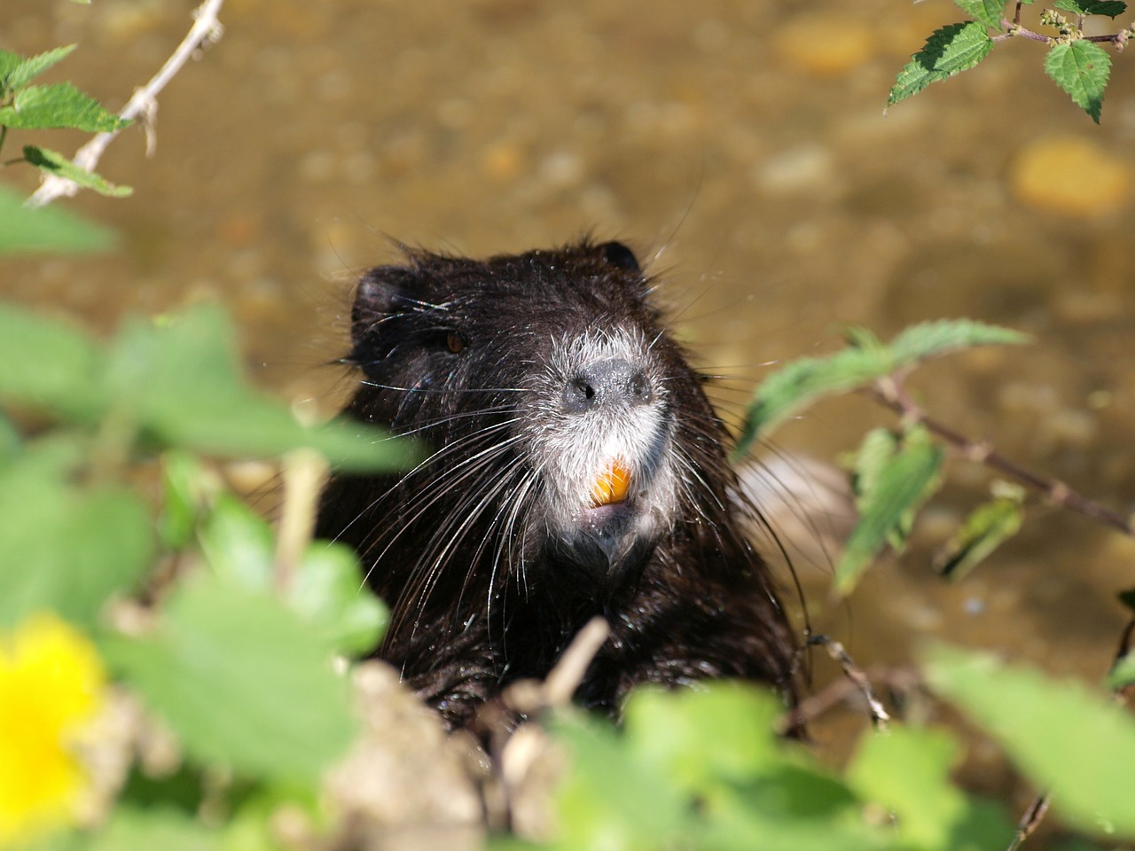 water rat nutria animals free photo