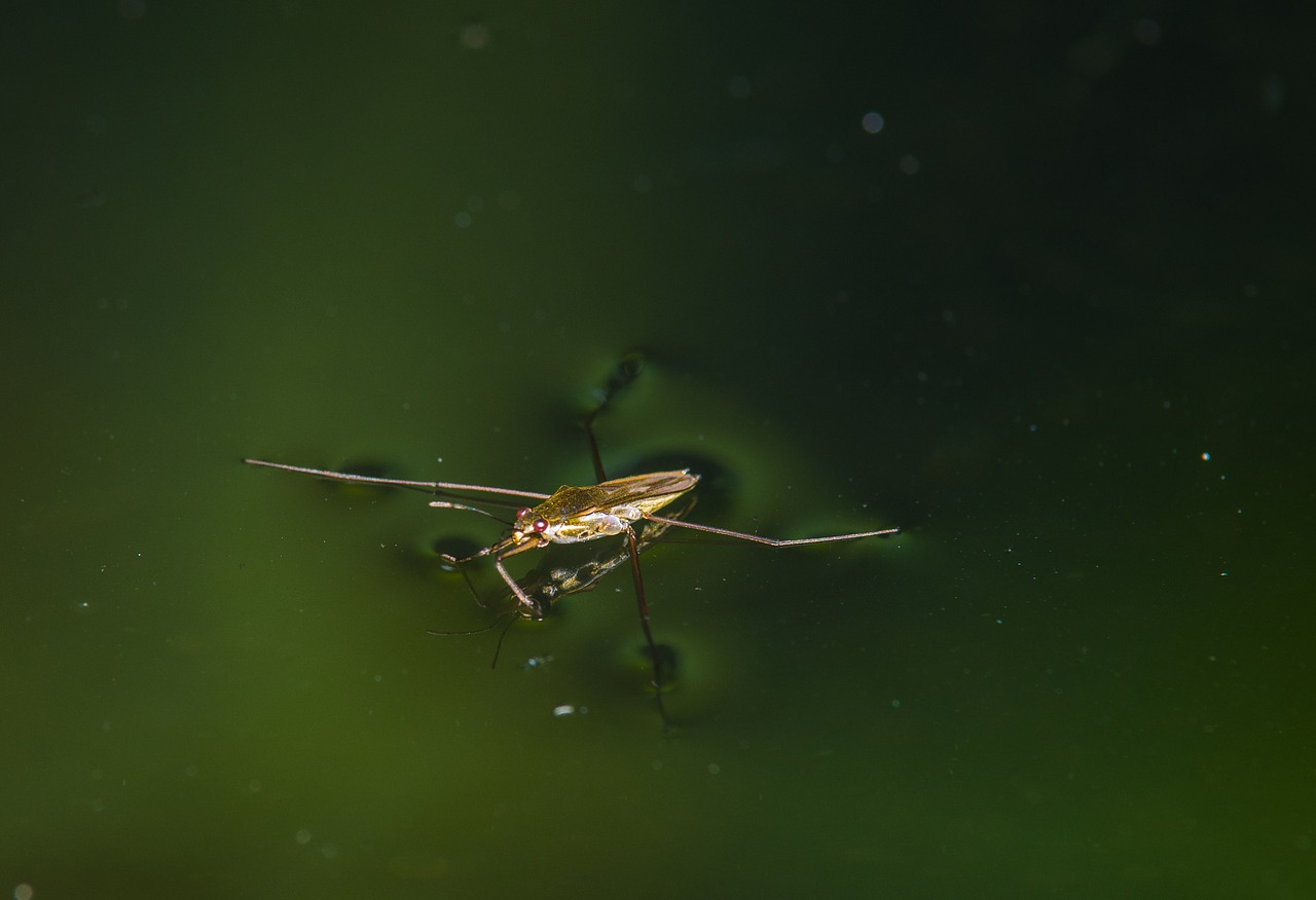 water striders  water  pond free photo