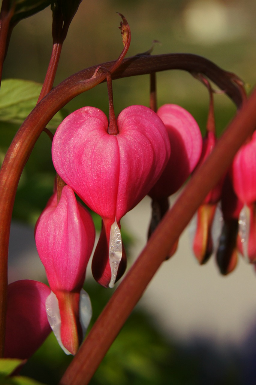 watery heart lamprocapnos spectabilis two tone heart flower free photo