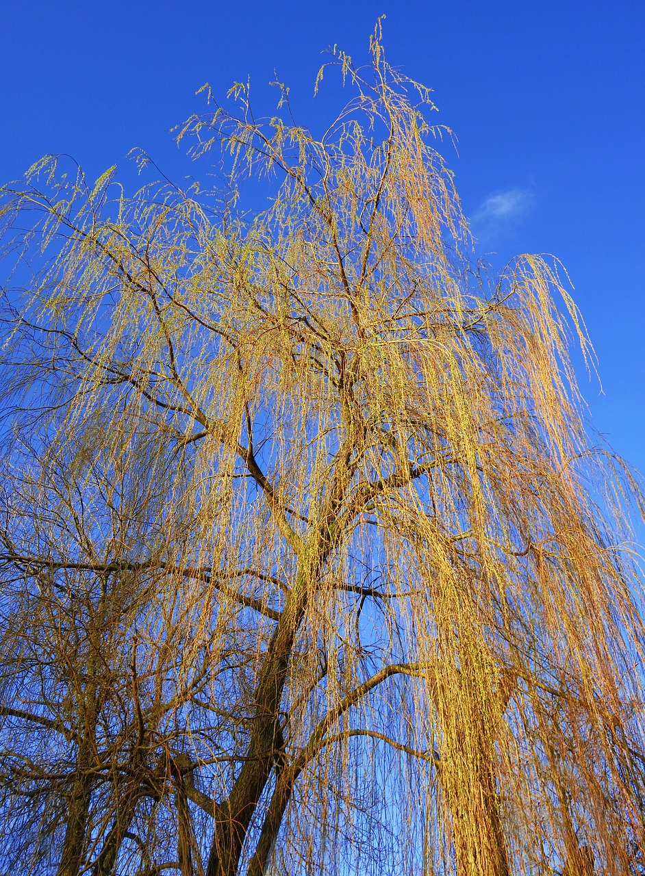 The pruning of a weeping pussy willow